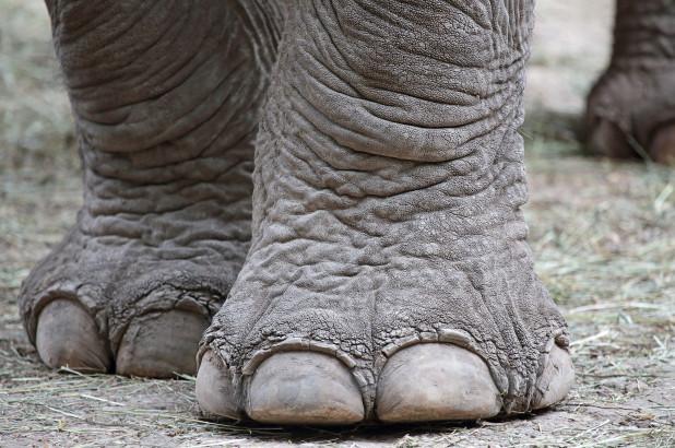elephant-foot-feature.jpg